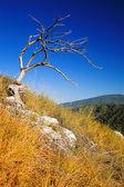 Dead tree on mountain — Stock Photo