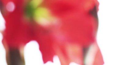 Amaryllis flower defocus — Stock Video