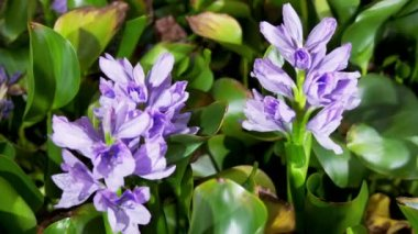Blooming water hyacinth flowers — Stock Video
