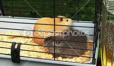 Two guinea pigs — Stockvideo