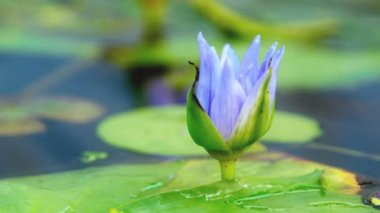Opening of water lily flower — Stock Video