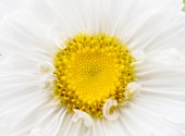 Aster white closeup — Stock Photo