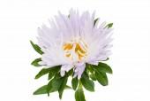Aster flower — Stock Photo