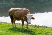 Cow grazing in a meadow — Stock Photo
