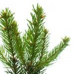 Spruce twig — Stock Photo #53844695