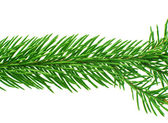 Spruce twig — Stock Photo