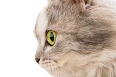 Katze mit grünen augen — Stockfoto