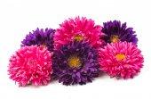 Purple  and pink  chrysanthemums — Stock Photo