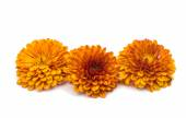 Yellow-orange chrysanthemums  — Stock Photo