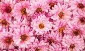 Chrysanthemum background — Stock Photo