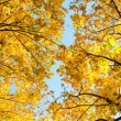 Beautiful autumn background from yellow maple leaves — Stock Photo #55777005