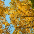 Beautiful autumn background from yellow maple leaves — Stock Photo #55777485