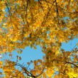 Beautiful autumn background from yellow maple leaves — Stock Photo #55778147