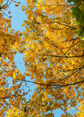 Beautiful autumn background from yellow maple leaves — Stock Photo