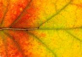 Closeup texture of autumn leaf — Stock Photo