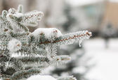 A coniferous tree in hoarfrost and snow — Stock Photo