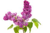 Lilac branch  — Stock Photo