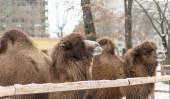 Camel head in zoo — Stock Photo