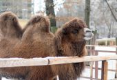 Camel head in zoo — Stock Photo