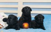 Little black Labradors — Stock Photo