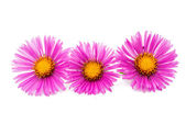 Magenta chrysanthemums — Stock Photo