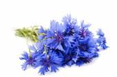 Beautiful cornflowers flowers — Stock Photo