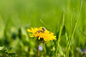 Dandelion flower with insects  — Stock Photo