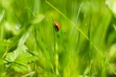 Ladybug on grass in a meadow — Stock Photo