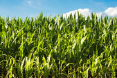Detailed view of still unripe maize plants  — Stock Photo