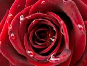 Beautiful red rose macro — Stock Photo