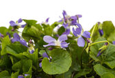 Violets flowers close up — Stock Photo