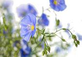 Blue flax flowers — Stock Photo