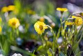 Blommor mor och styvmor — Stockfoto