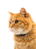 Ginger cat isolated — Stock Photo
