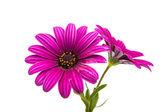 Uma violeta Margarida Rosa de flor Osteosperumum — Fotografia Stock