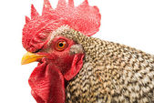 Rooster isolated  — Stock Photo