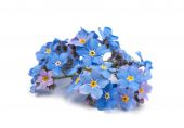 Forget-me not flowers — Stock Photo