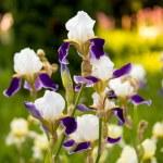 Beautiful iris flowers growing — Stock Photo #75061533