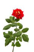 Röd ros isolerade — Stockfoto