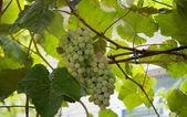 Grappe de raisin sur la vigne — Photo