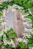 Blossom bird cherry — Stock Photo