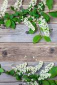Branch of blossom bird cherry on vintage boards — Stock Photo