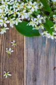 Branch of blossom bird cherry — Stock Photo