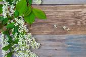 Branch and flowers of blossom bird cherry — Stock Photo