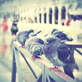 Doves in Venice — Stock Photo