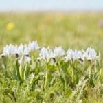 Wild irises — Stock Photo #73671703