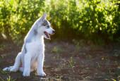 Cachorro Husky — Fotografia Stock