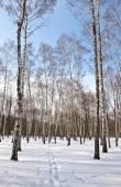 Bosque de abedules en invierno — Foto de Stock