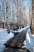 Birch grove in winter — Stock Photo