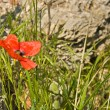 Red poppy — Stock Photo #68881417